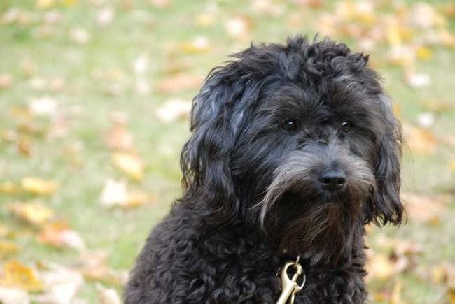 Schnoodle(Schnauzer and Poodle)