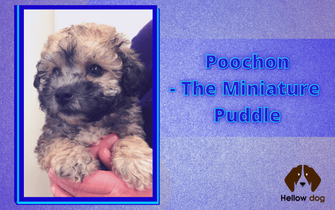 Poochon- The Miniature Puddle