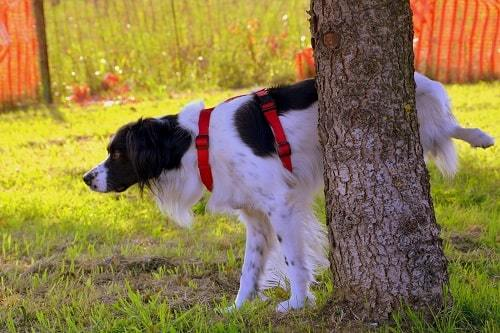 stop dog from peeing in house