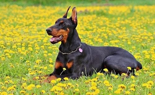 Bright Dog Breed Doberman Pinscher