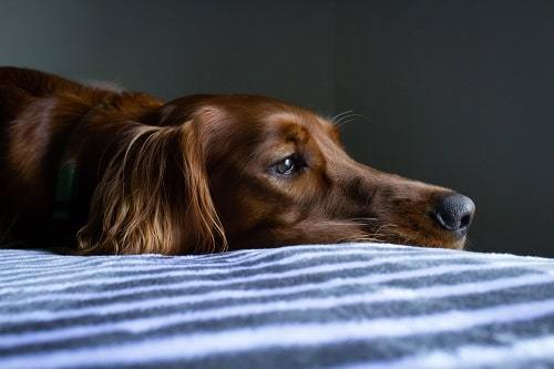 dog trauma after accident