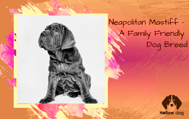 Neapolitan Mastiff - A Family Friendly Dog Breed