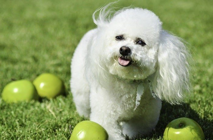 The Bichon Frise Dog